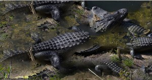 Wrasslin Gators 1