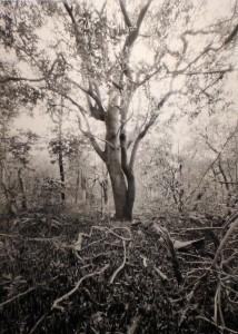 Butcher Tallest Black Mangrove in Florida Mound Key
