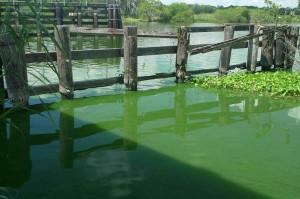 Blue Green Algae Blooms 06